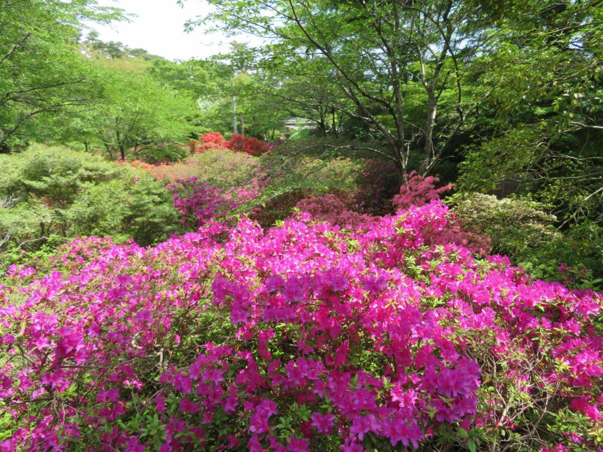 清水公園つつじまつりを彩る品種は?園内には春から初夏の花が勢揃い!