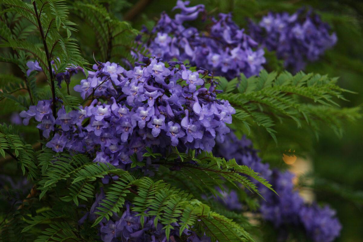 ATAMIジャカランダフェスティバル2021!熱海に初夏を告げる幸せの紫の花