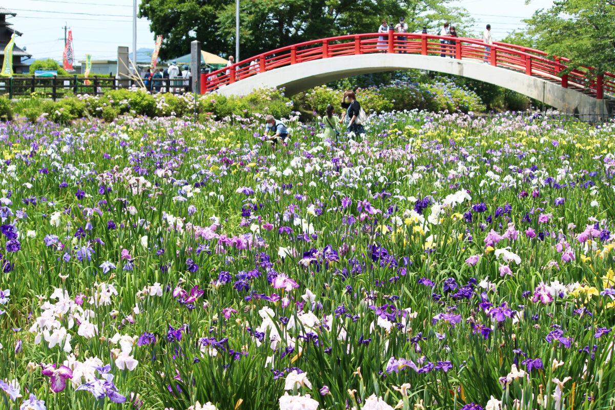 賀茂しょうぶ園花しょうぶまつり2021!300種・37000株の花が咲き広がる豊橋の祭り