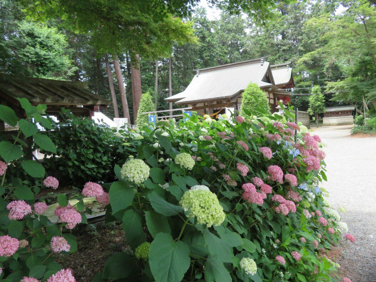 磯山神社あじさい祭りが開催される境内では約2500株のあじさいが見頃!