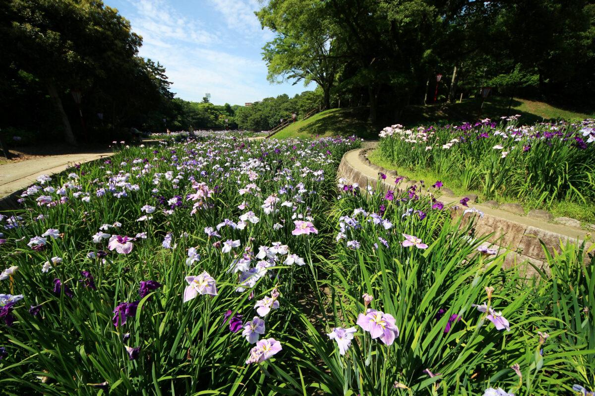 大池公園花しょうぶまつり2021!愛知・東海市で初夏を彩る128種・5000株の花