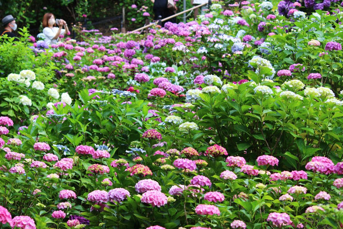 形原温泉あじさい祭り2021!50000株のあじさいが一面咲き誇る。夜はホタルも登場