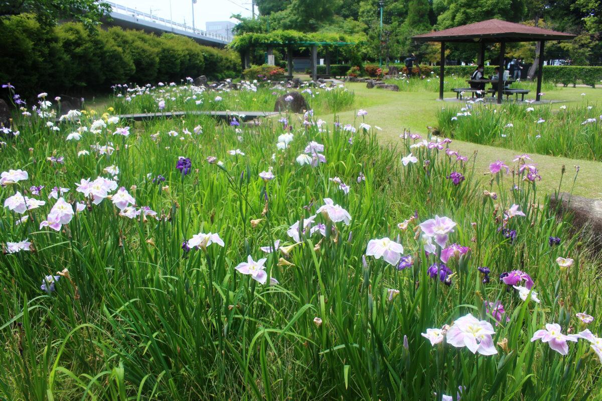 知立公園花しょうぶまつり2021!明治天皇が好んだ名品種が60種も植えられる?