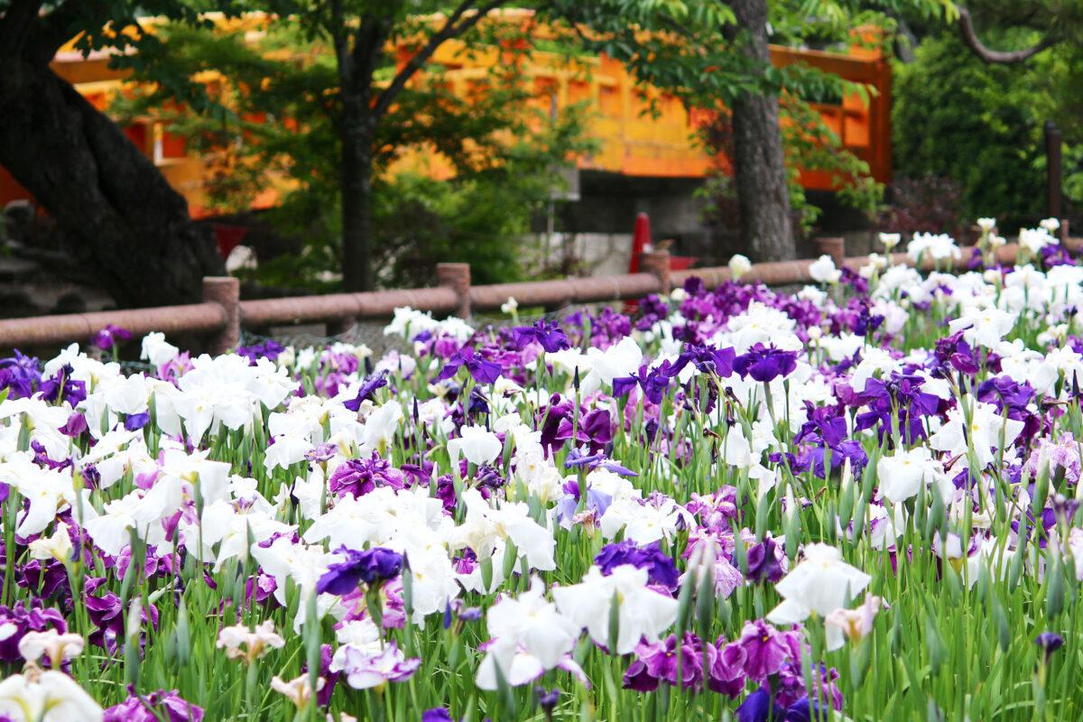 九華公園花菖蒲まつり2021!桑名城にある菖蒲園で4000株が咲き誇る。蛤も必見!