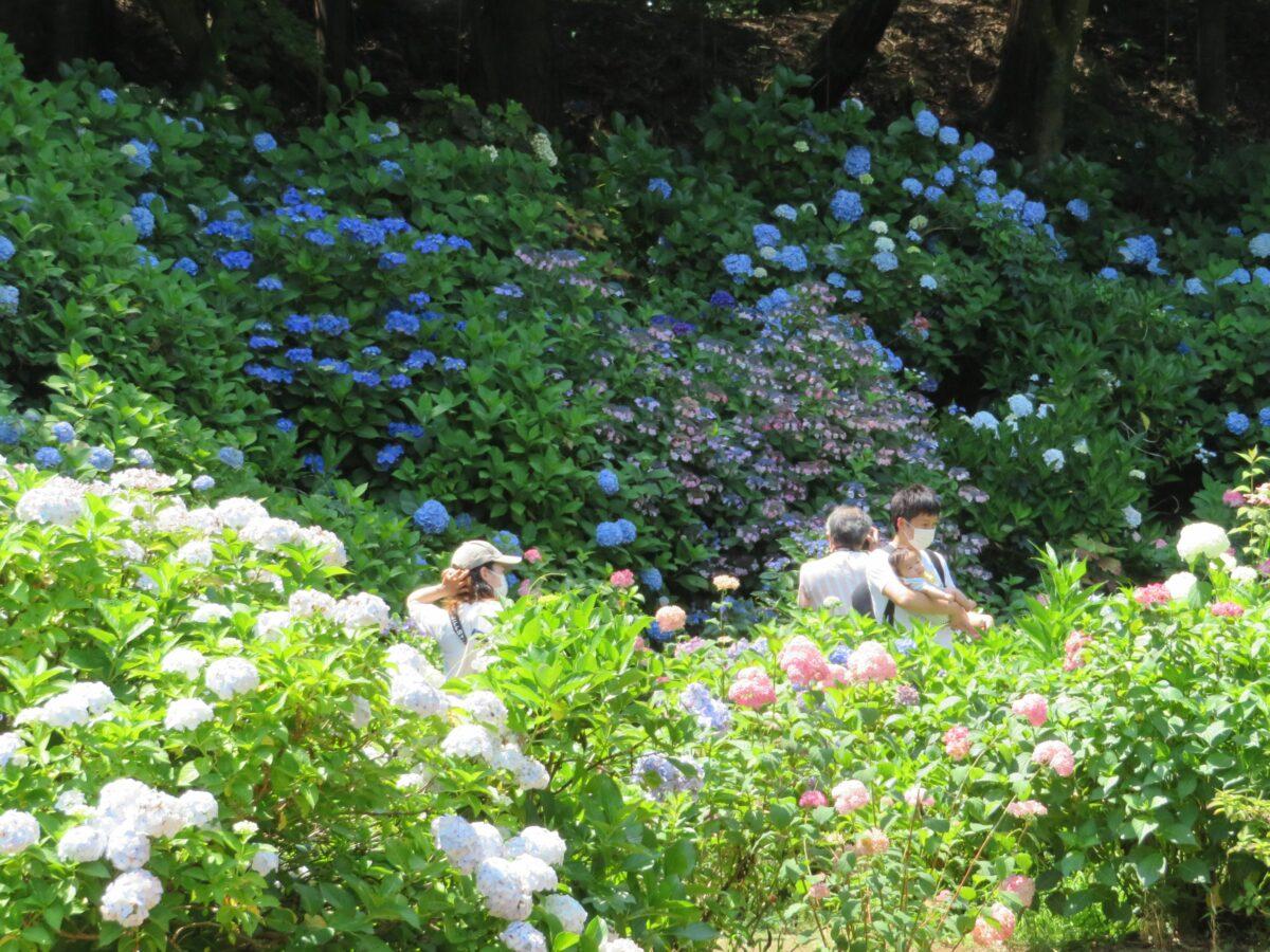 大宝八幡宮あじさい祭りが開催中!神苑を彩る約300種・400株の初夏の花