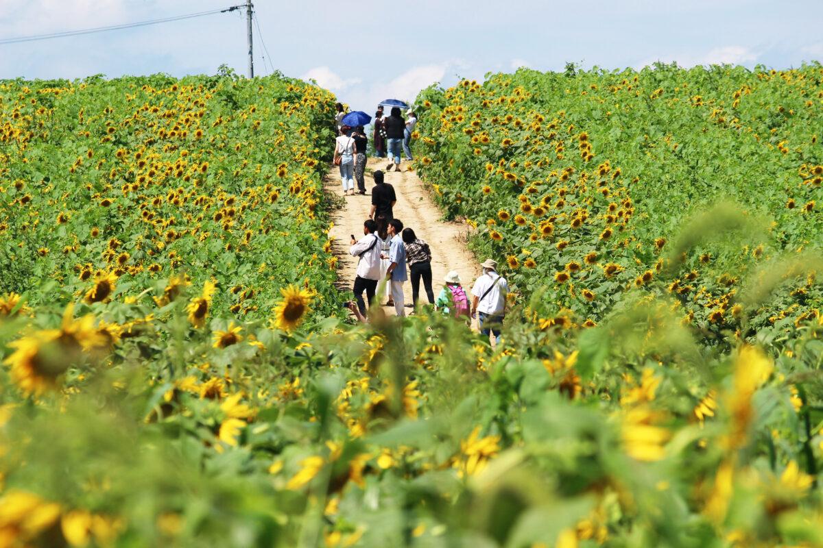 ひまわりまつり(大崎市)2021!6haの丘が黄色の世界に。42万本もの花が咲く!